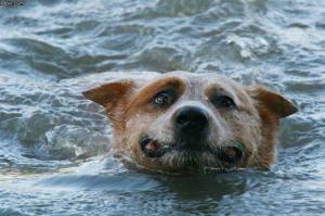 dogswim